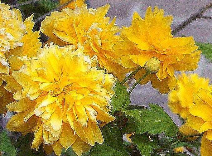 Ben noto Hortus Italicus: Kerria japonica 'Pleniflora' OX25