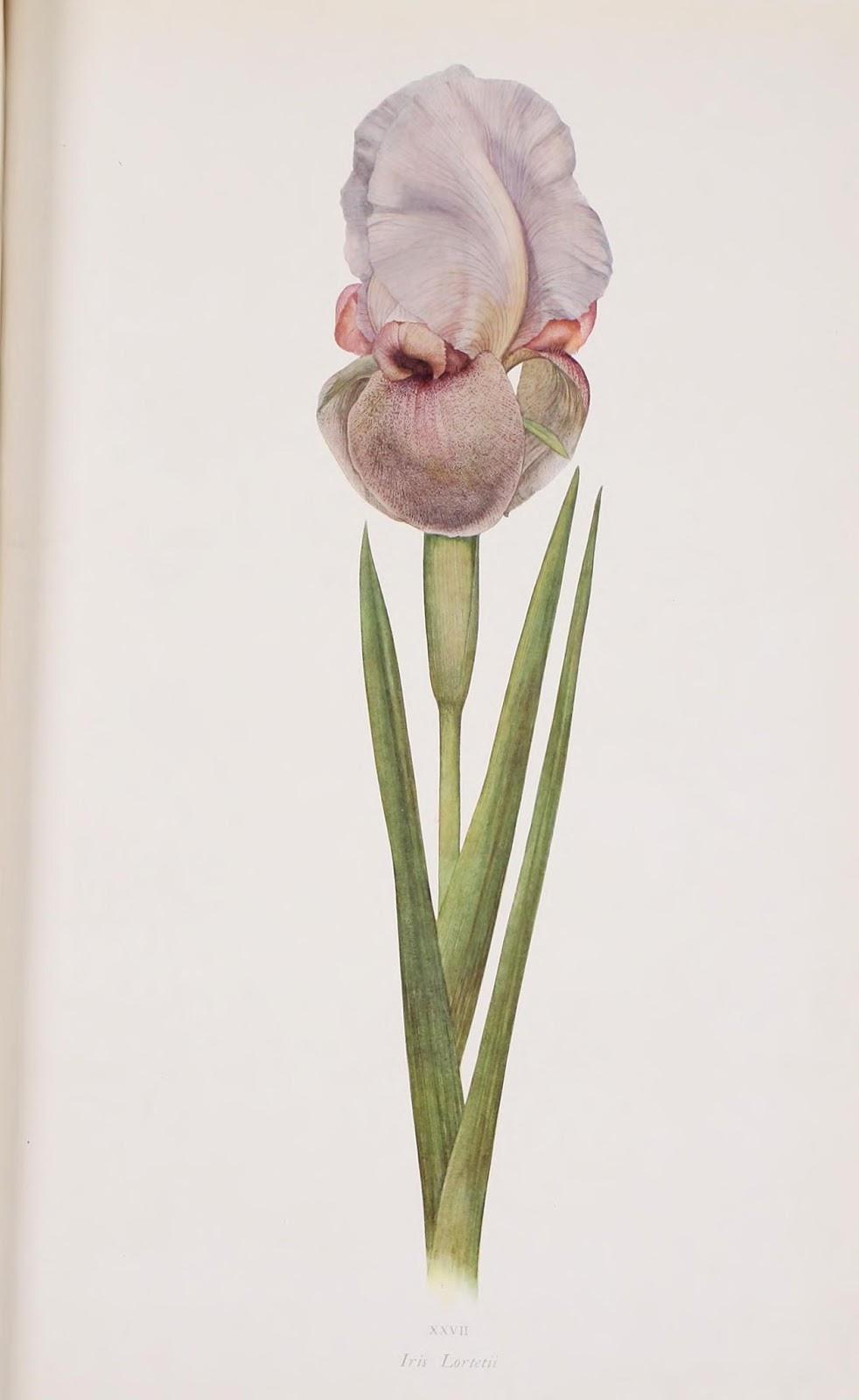 Flor de Lirio azul claro