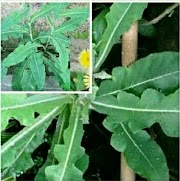 Sow Thistle, the kidney stone destroyer