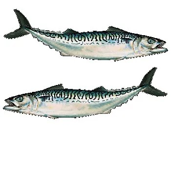 बांगडा मासा, King mackerel fish name in Marathi