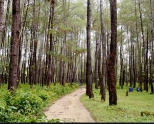kayu pohon pinus