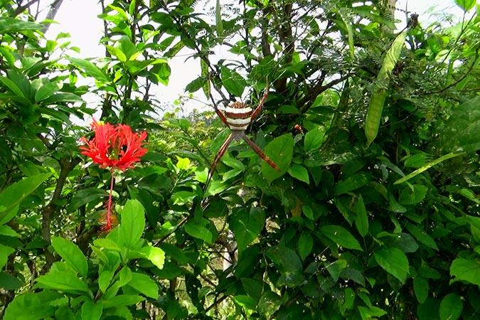 Garden cross spider (Argiope pulchella)
