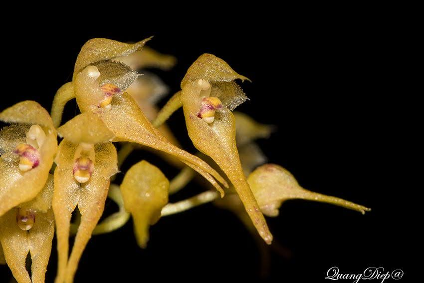 Bulbophyllum psychoon