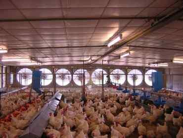 Analisa Rumah Pemotongan Ayam dan Peluangnya