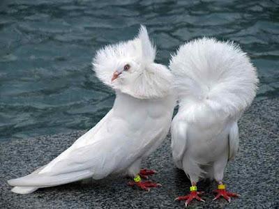 Gambar burung merpati  jacobin