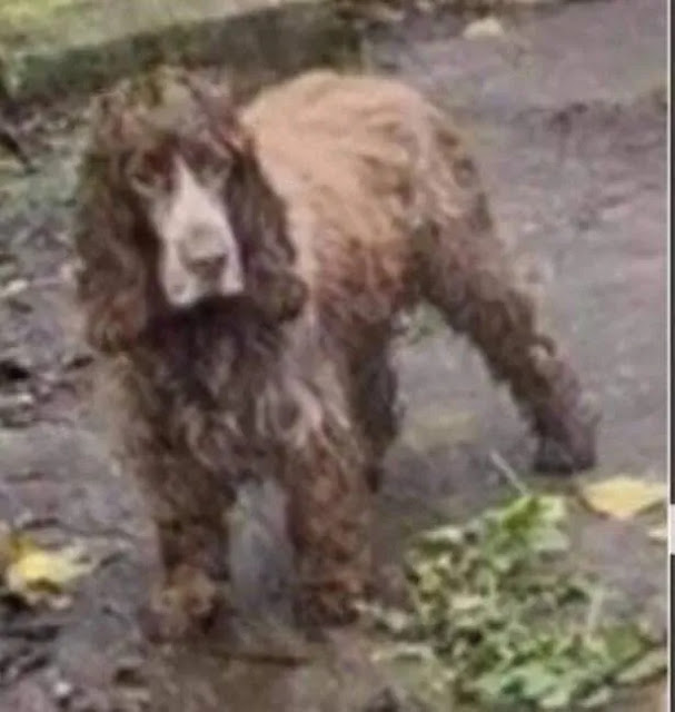 vBruno the dog found in Leeds hundreds of miles from home after being stolen TWICE in a week