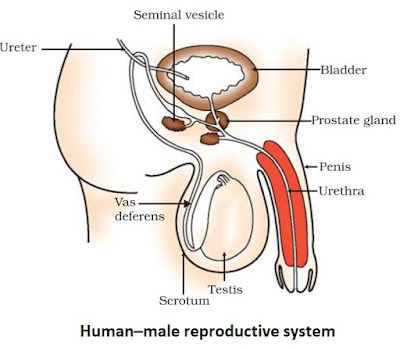 Notes of ch 8 how do organisms reproduce class 10th science female reproductive system ccuart Images
