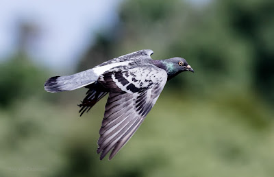 Pigeon in Flight - Table Bay Nature Reserve