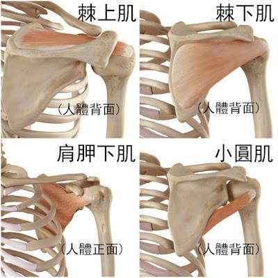 肩膀 肌肉 棘上肌 棘下肌 肩胛下肌 小圓肌