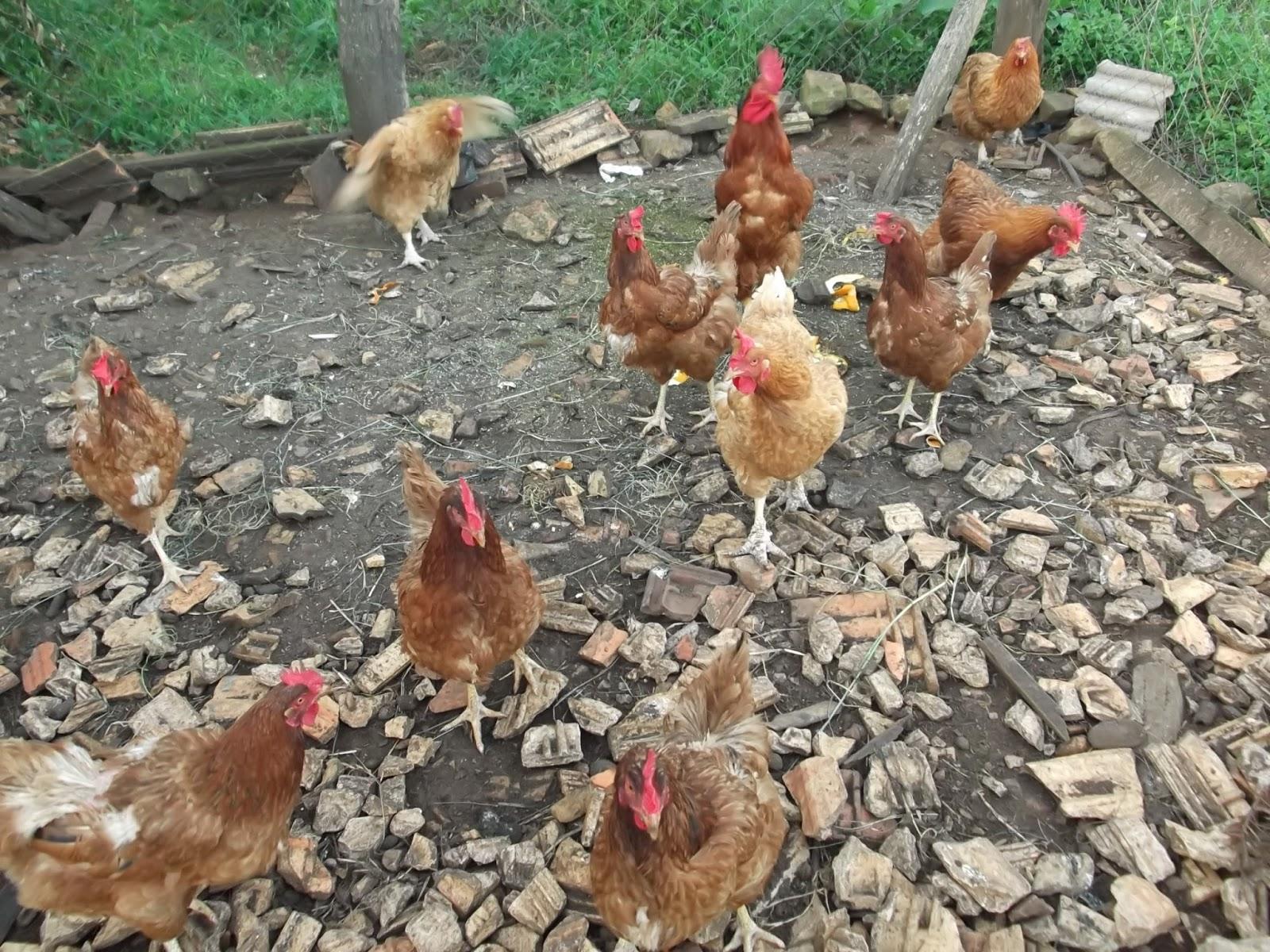sonhar com galinha sete