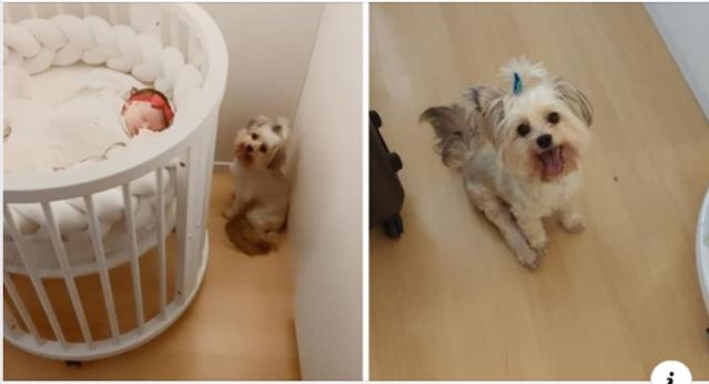 Cachorrinha Shih Tzu vira 'segunda mãe' de bebê que acabou de chegar em casa: 'Não desgruda dela'