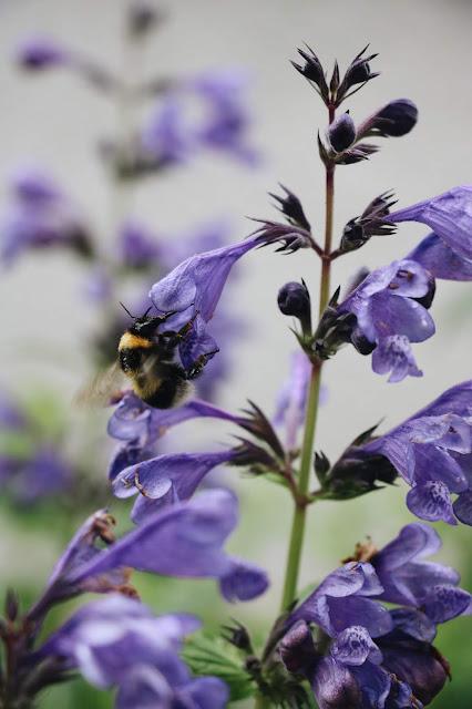 abeille sur sauge