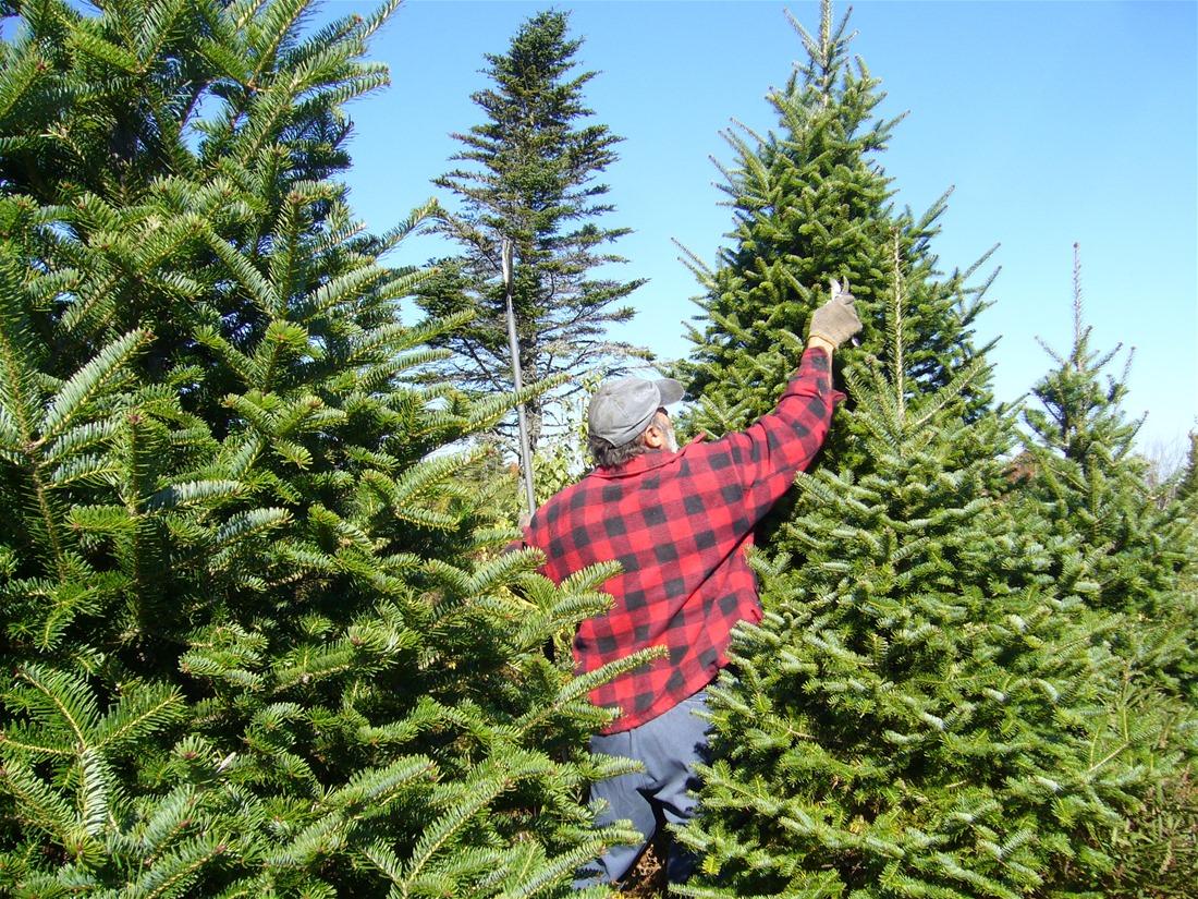 Το 75% των χριστουγεννιάτικων δέντρων στην Ελληνική αγορά προέρχονται από τον Ταξιάρχη Χαλκιδικής