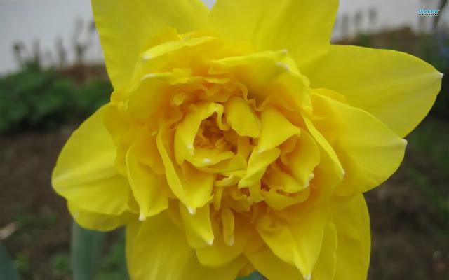 صور خلفيات ورد اصفر جميل