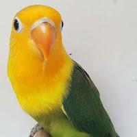 Lovebird yellow face