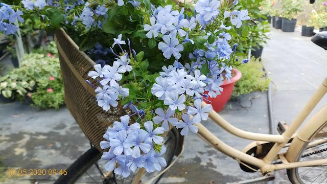 Cánh hoa cây thanh xà mỏng manh với màu xanh nước biển