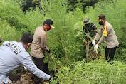 Kapolda Aceh Ikut Musnahkan Ladang Ganja di Lamteuba