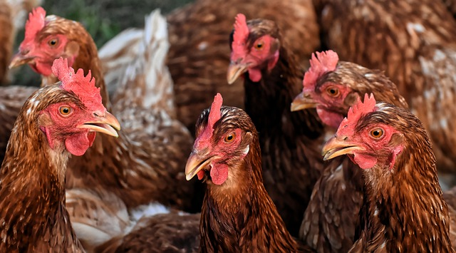 kandang umbaran ayam petelur