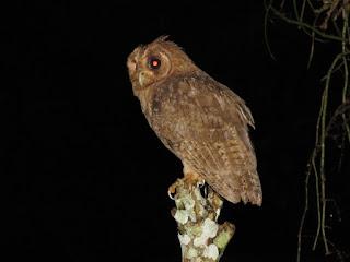 Jamaican Owl