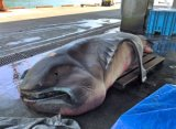 Rare Shark Caught in Japan