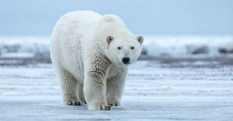 Kutup ayılarının o bilindik beyaz tüylerinin altında simsiyah bir derileri vardır.