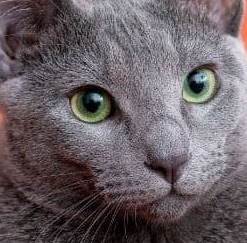 Chartreux vs Russian Blue Cat Personality, Size, Lifespan, Price