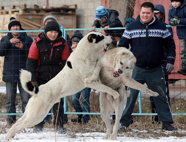 Кровавые бои волкодавов в Кыргызстане!!!