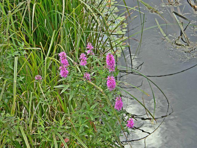 rośliny miejsc podmokłych, flora, rzeka