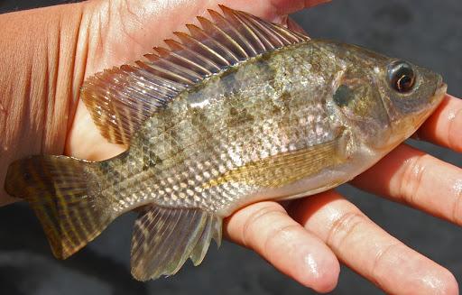 Inilah Supplier Jual Ikan Nila Bibit dan Konsumsi di Gorontalo