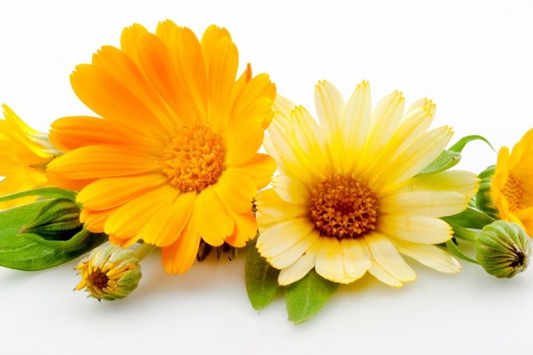 neven-cvijet-ljekovito-bilje-prirodno-liječenje