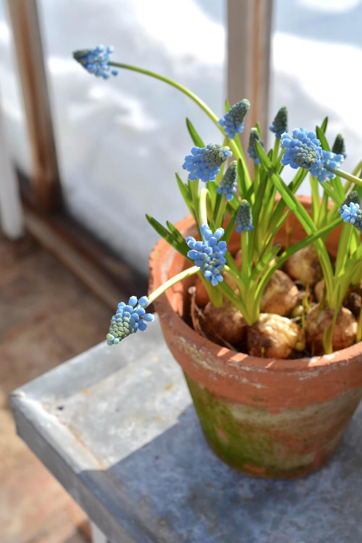kevattalvi-kasvihuone-sipulikukat