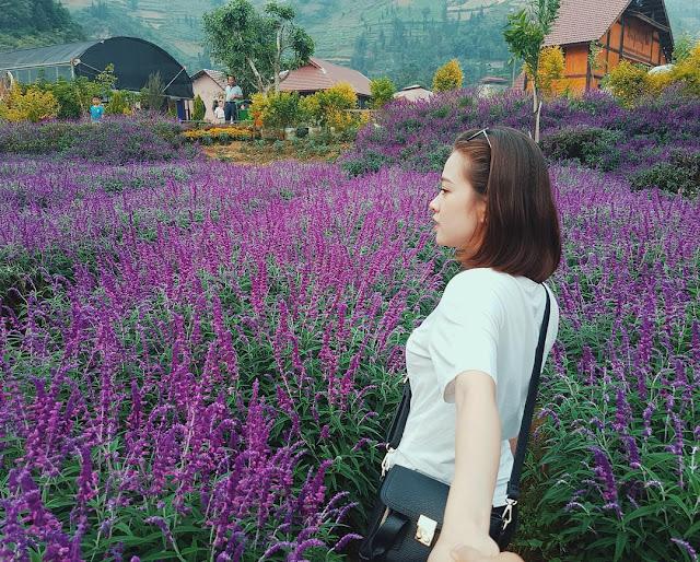 Hình ảnh hoa oải hương đẹp & Cánh đồng hoa oải hương sắc tím