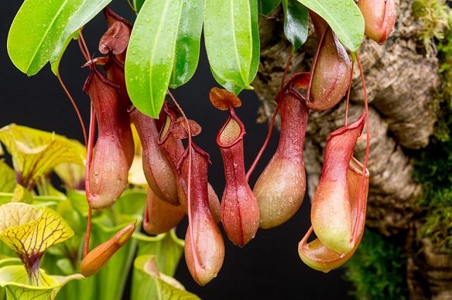Gambar flora bunga nepenthes-kantung semar
