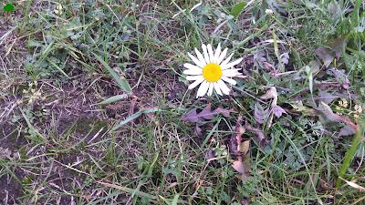 jesień, aster, jesienne fotografie, zdjęcia, jesiennie, kwiaty, rośliny