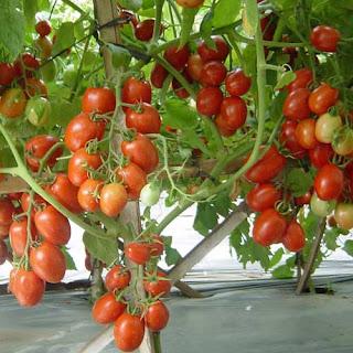 buah tomat merah