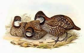 Venezuelan Wood-quail