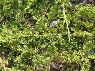 Genévrier rampant - Juniperus horizontalis