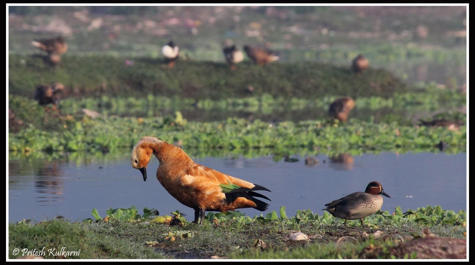 Brahminy Duck a.k.a. Ruddy Shelduck