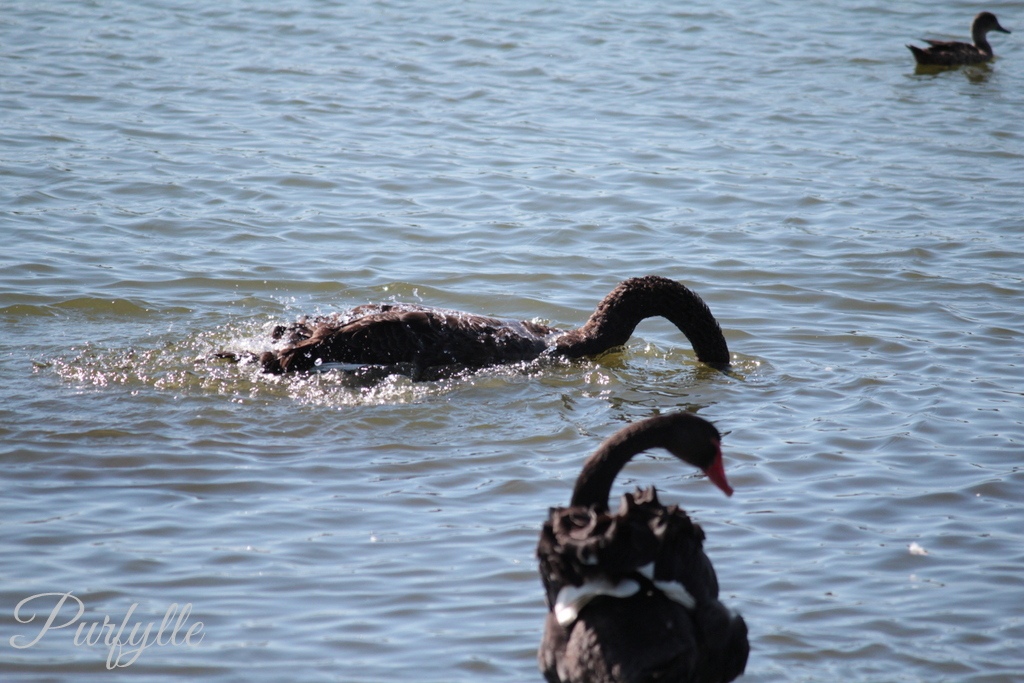 black swan taking a bath