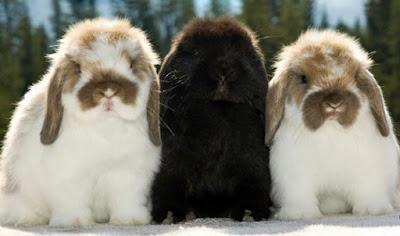 3 Kelinci Holland Lop