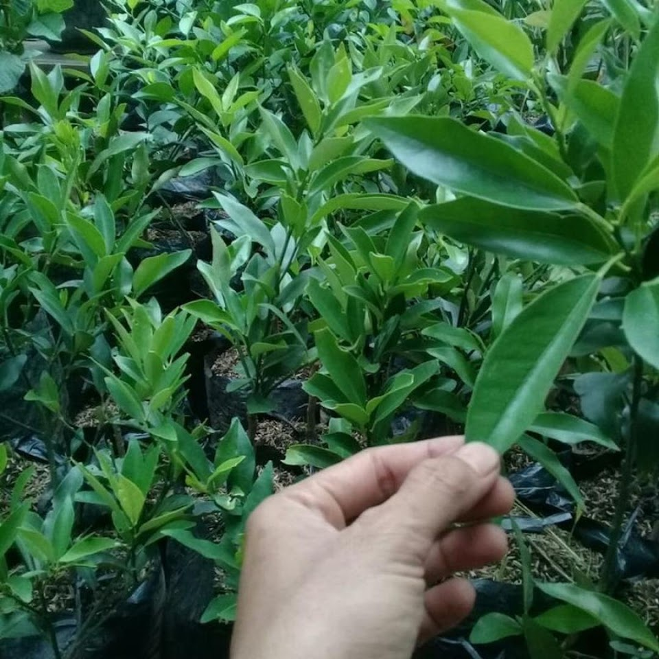 Bibit jeruk nagami hasil okulasi siap berbuah Jawa Timur