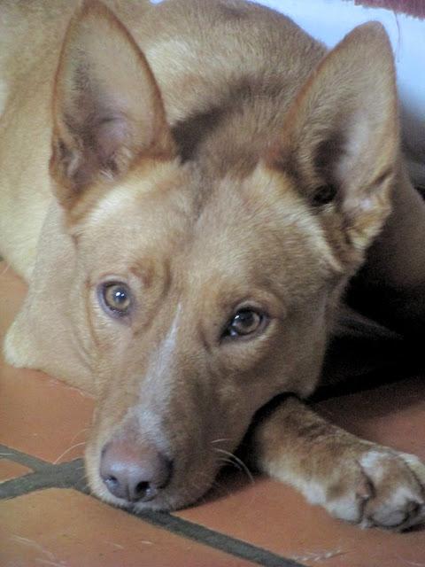 Adoption ou Famille d'accueil Urgente pour Pongo