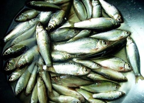 Cá linh: Đặc sản mùa nước nổi Miền Tây