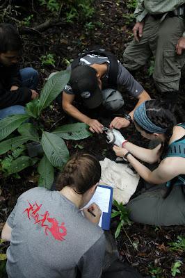 Josh Kim, Sarah Wicks, and Jenna Shultz examine a Peromyscus nudipes.