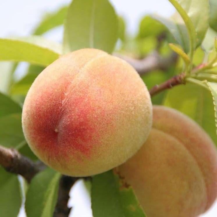 Bibit Tanaman Buah Persik Peach Jawa Barat