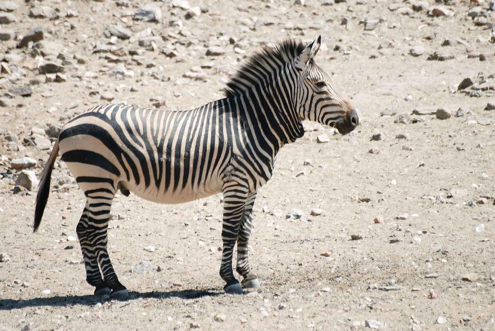 Geoff S Blogs Zebras