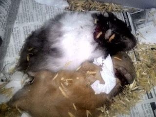 Membedakan Hamster Berantem, Kawin dan Bermain