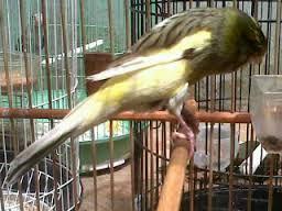 Permasalahan Iklim Dengan Habitat Asli Burung Kenari - Solusi Penangkaran Burung Kenari