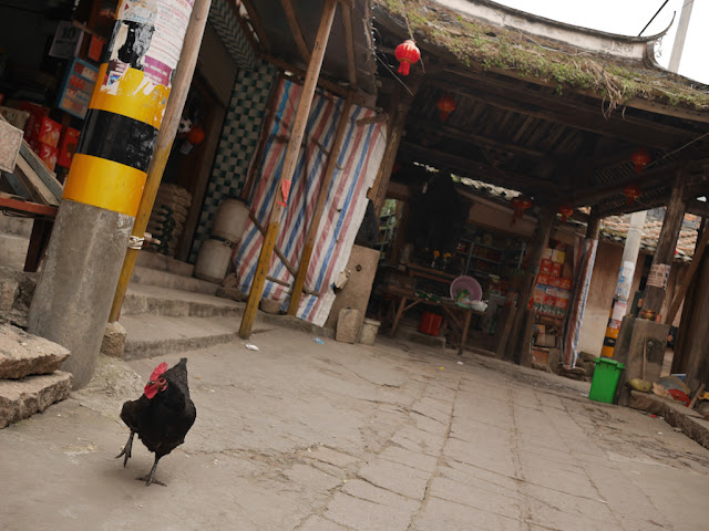 chicken walking towards me in Dajing