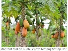 https://mazriko.blogspot.com/2017/11/manfaat-makan-buah-pepaya-matang-setiap.html